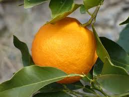 yuzu jeruk